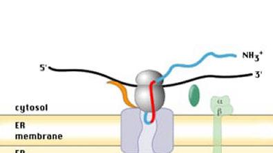 Síntese de proteínas para o lúmen do RE
