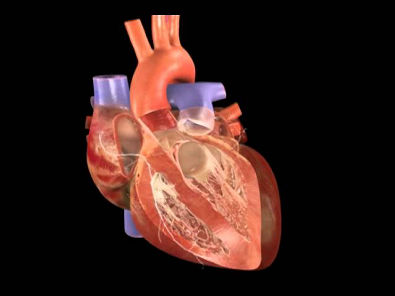 Coração Batendo - Atlas do Corpo Humano