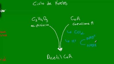 Respiração Celular - Ciclo de Krebs