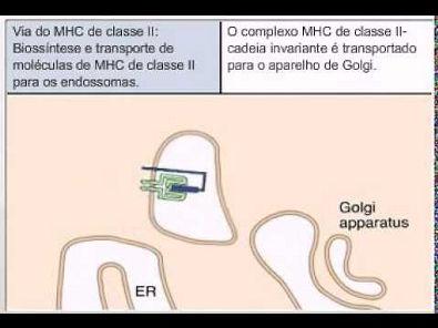 Via do MHC II