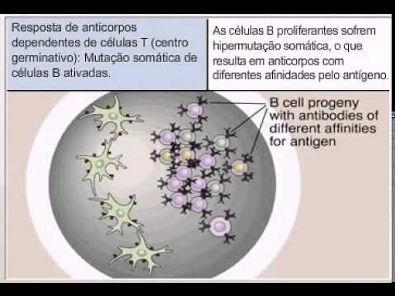 Resposta de anticorpos dependentes de células T centro germinativos mpeg4