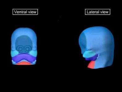 Embriologia - Desenvolvimento da Região da Face
