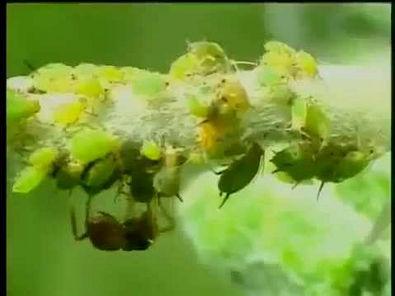 Coleópteros: Joaninhas, besouros...