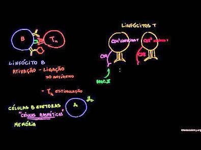 Revisão de linfócitos B, linfócitos T CD4 e linfócitos T CD8
