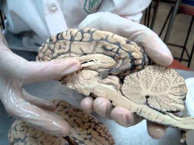 Anatomia Veterinária: Sistema Nervoso