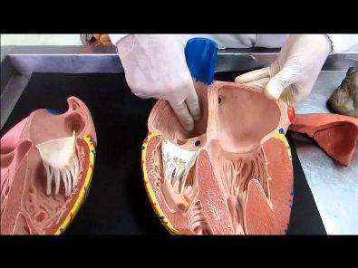Coração – Vídeo aula do Sistema Cardiovascular