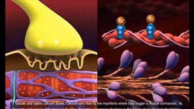 fisiologia da contração muscular 3D