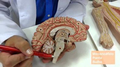 Sistema Nervoso: divisão anatômica