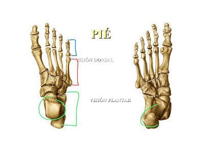 Huesos del miembro inferior